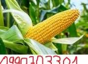 Maiz  maiz aguacate maiz